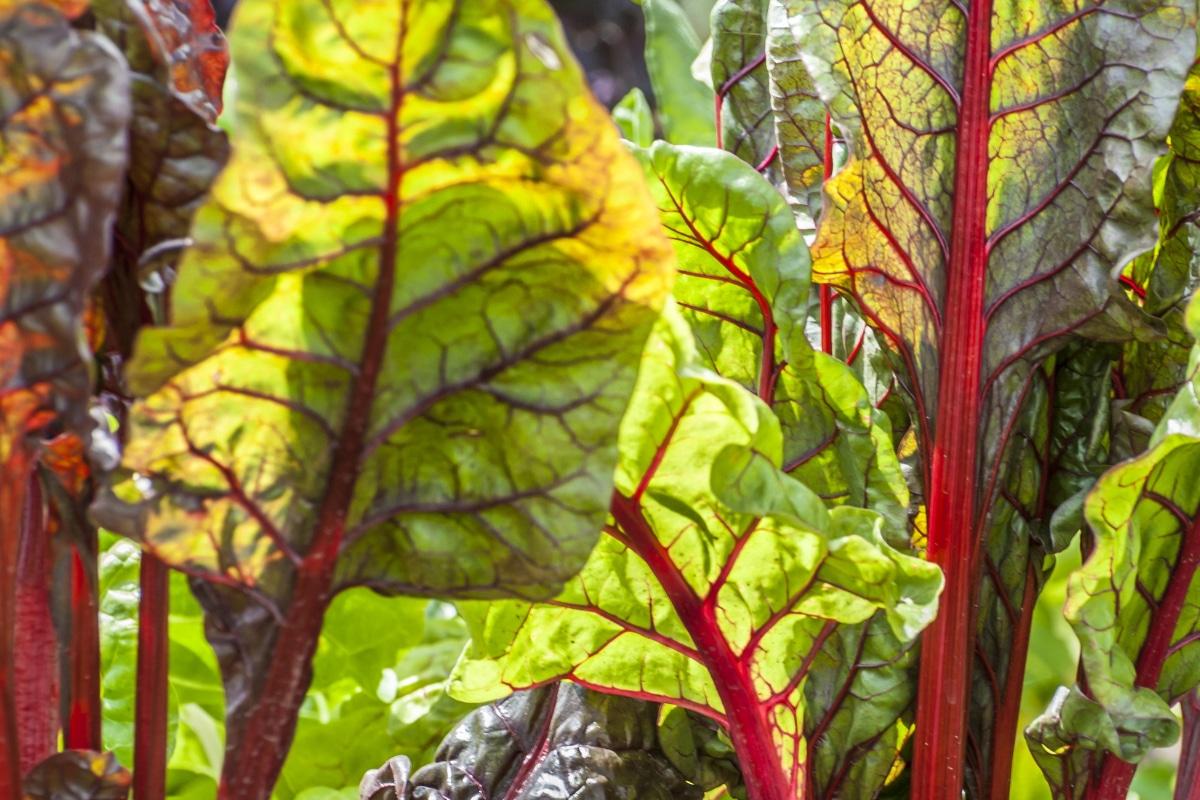 bladen van rabarber voor gier