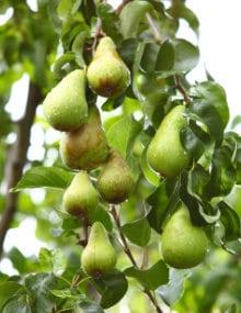 perenboom snoeien