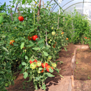 tomaten in tunnelserre